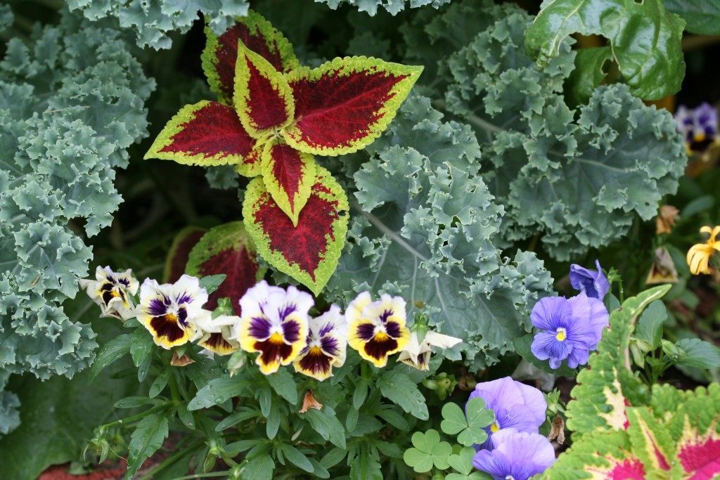 Kale is an attractive ornamental plant in mixed plantings.