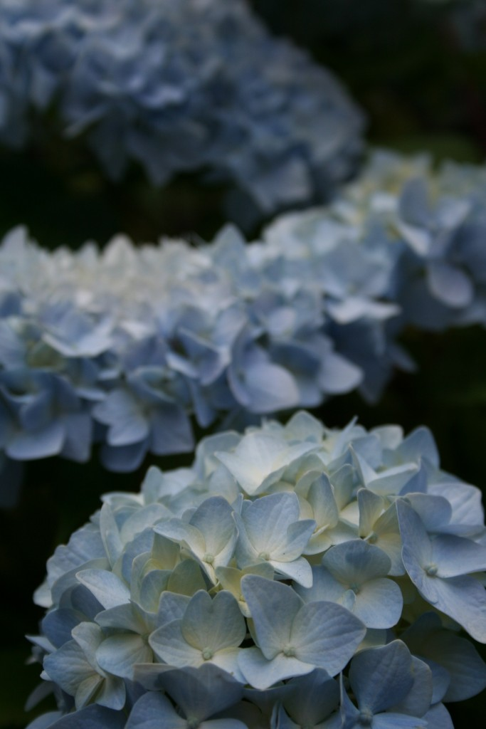 With the soil that is acidic, some hydrangeas will produce a baby blue bloom,