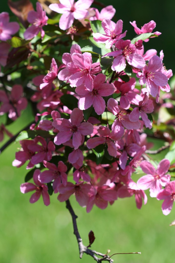 Crabapple blossoms put a pink glow on spring in Minnesota.