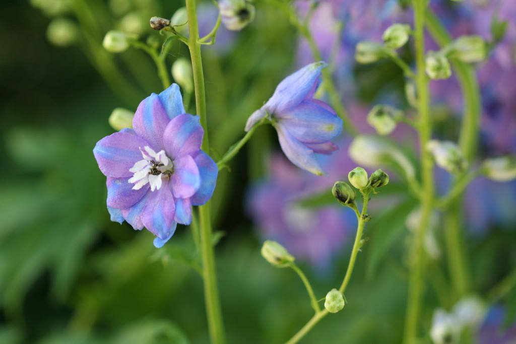 What could be more English than a delphinium?