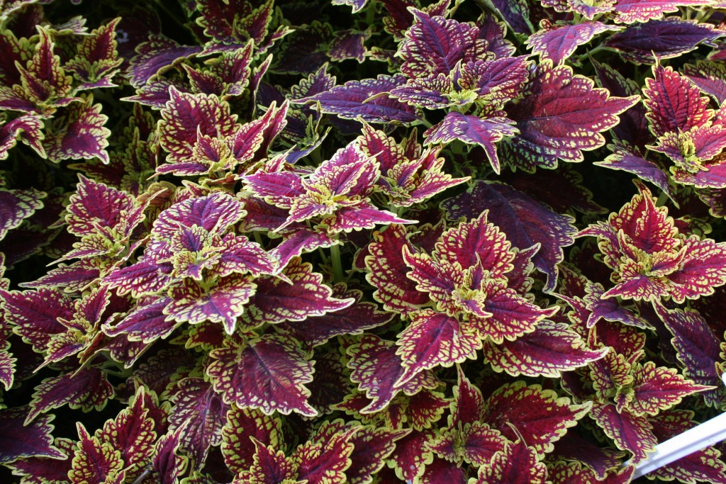 'Oxford Street' coleus is one of the newer coleus recommended by a Northern Gardener reader.