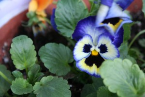 Sure signs of spring—pansy pots and the MSHS Garden Gala