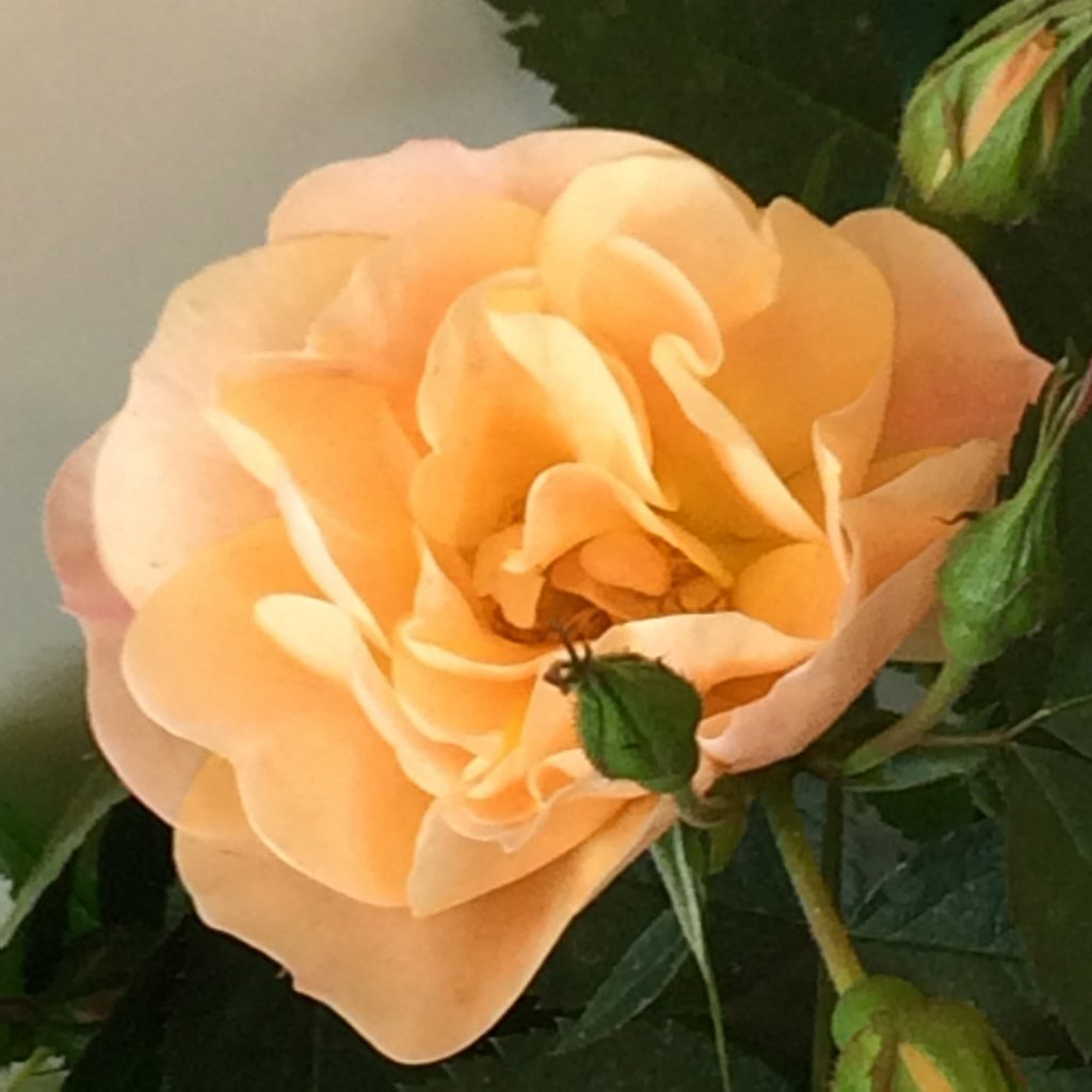 Above and Beyond rose