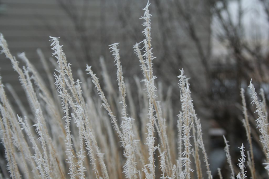 Hoar frost clings to the seed heads of Karl Foerster grass.