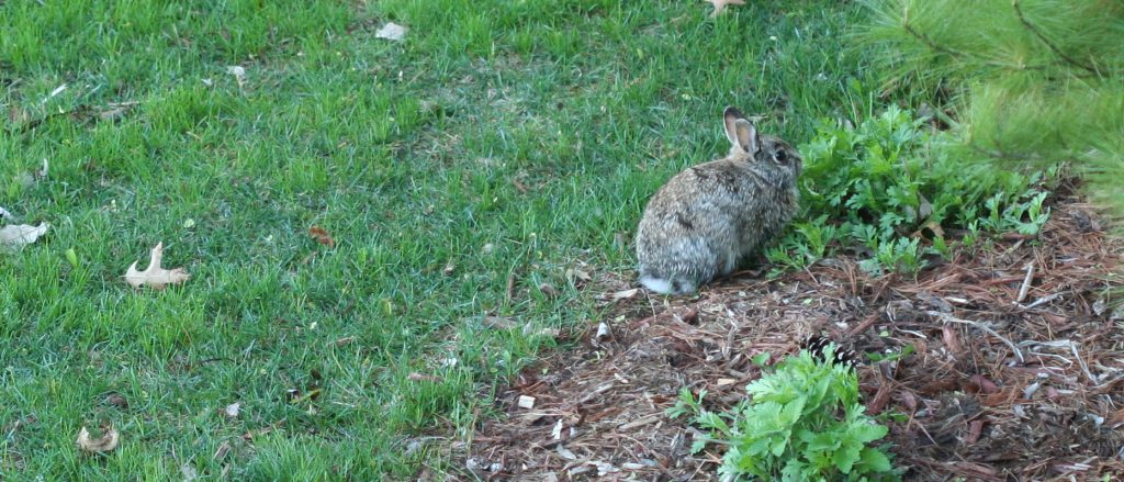Battling bunnies in the garden minnesota state horticultural society for How to deter rabbits from garden