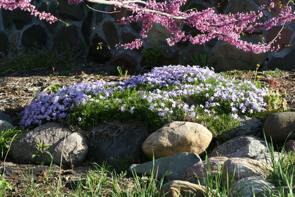 Creeping phlox looks gorgeous in a rock garden.