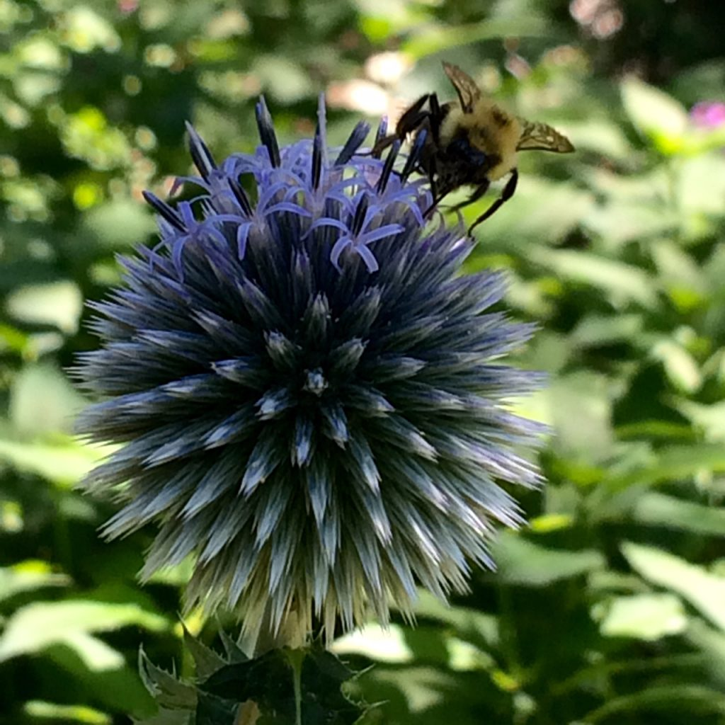 Bees are very attracted to globe thistle.