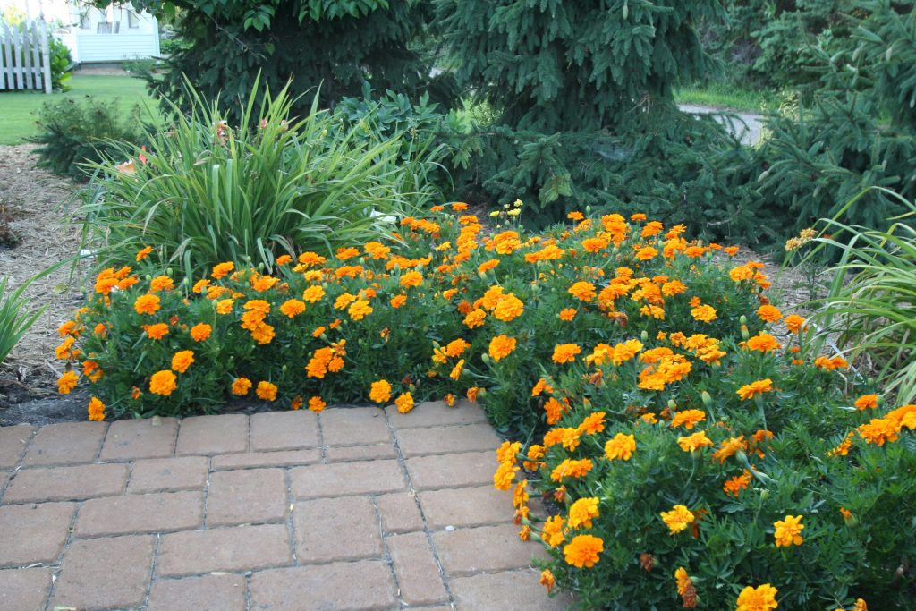 For lush bloom, marigolds can be deadheaded well into August. These are from the display gardens at the University of Minnesota in Morris.