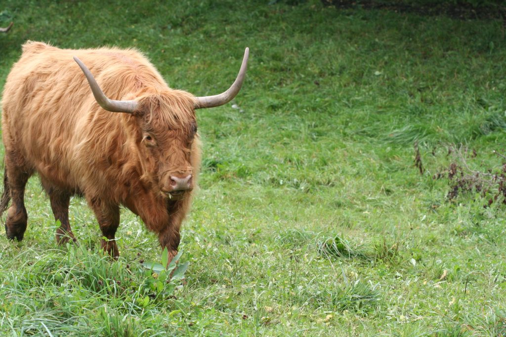 Scottish Highland cattle graze on a rotating basis throughout the farm.