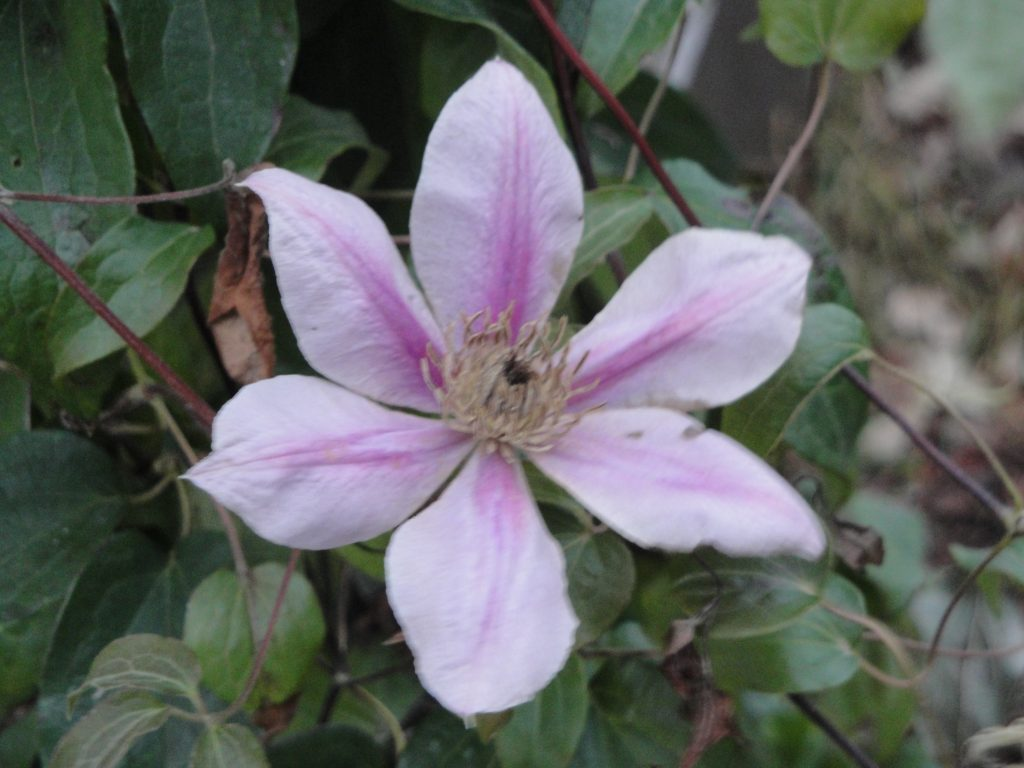 A clematis in bloom on Nov. 10, 2011. You never know what November will bring in the garden.