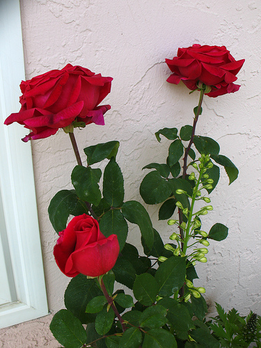 Mr. Lincoln is considered a great rose for beginning rose growers.
