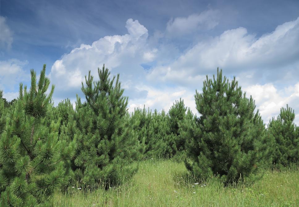 Norway pine in the wild -- istockphoto image