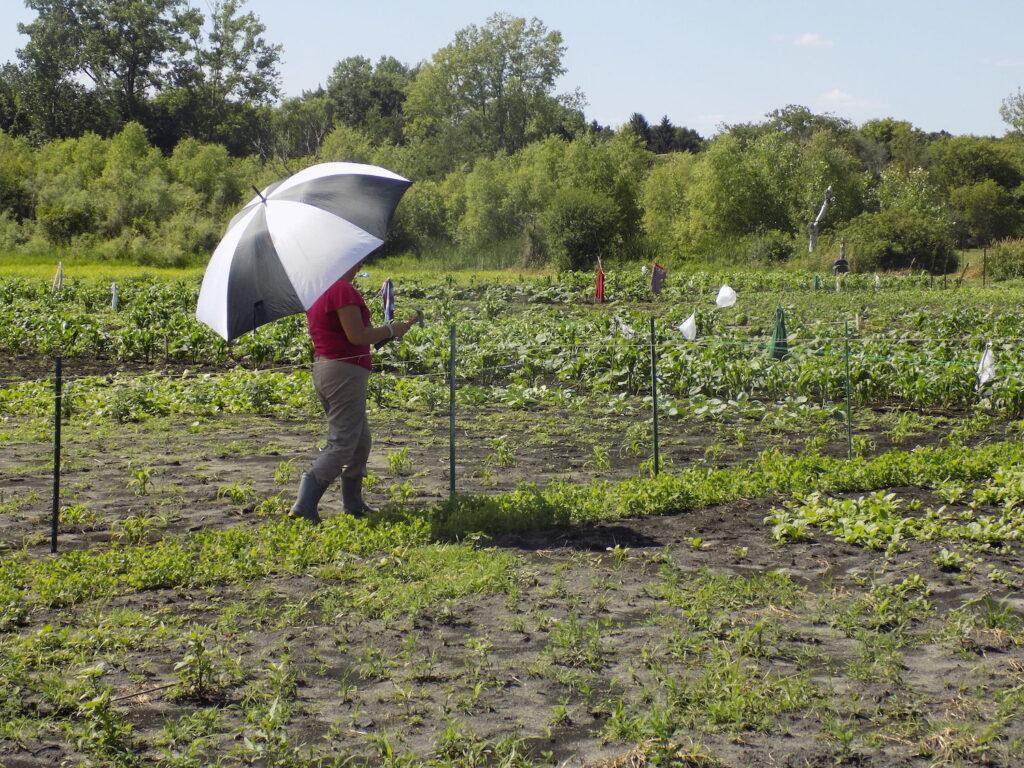 hmong elder under umbrella at CAPI garden