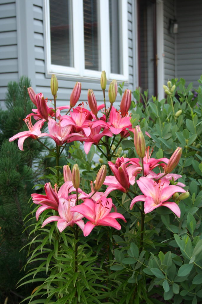 MSHS Has New And Interesting Lily Bulbs Every Year. These Are Called  U0027Torontou0027.