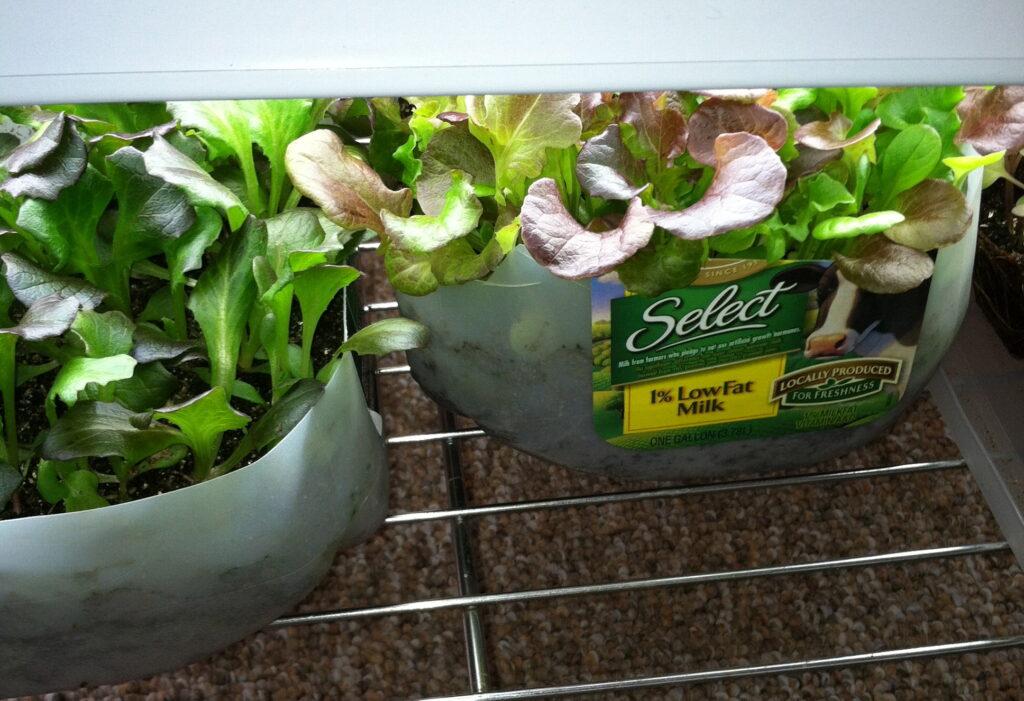 Lettuce seedlings under lights