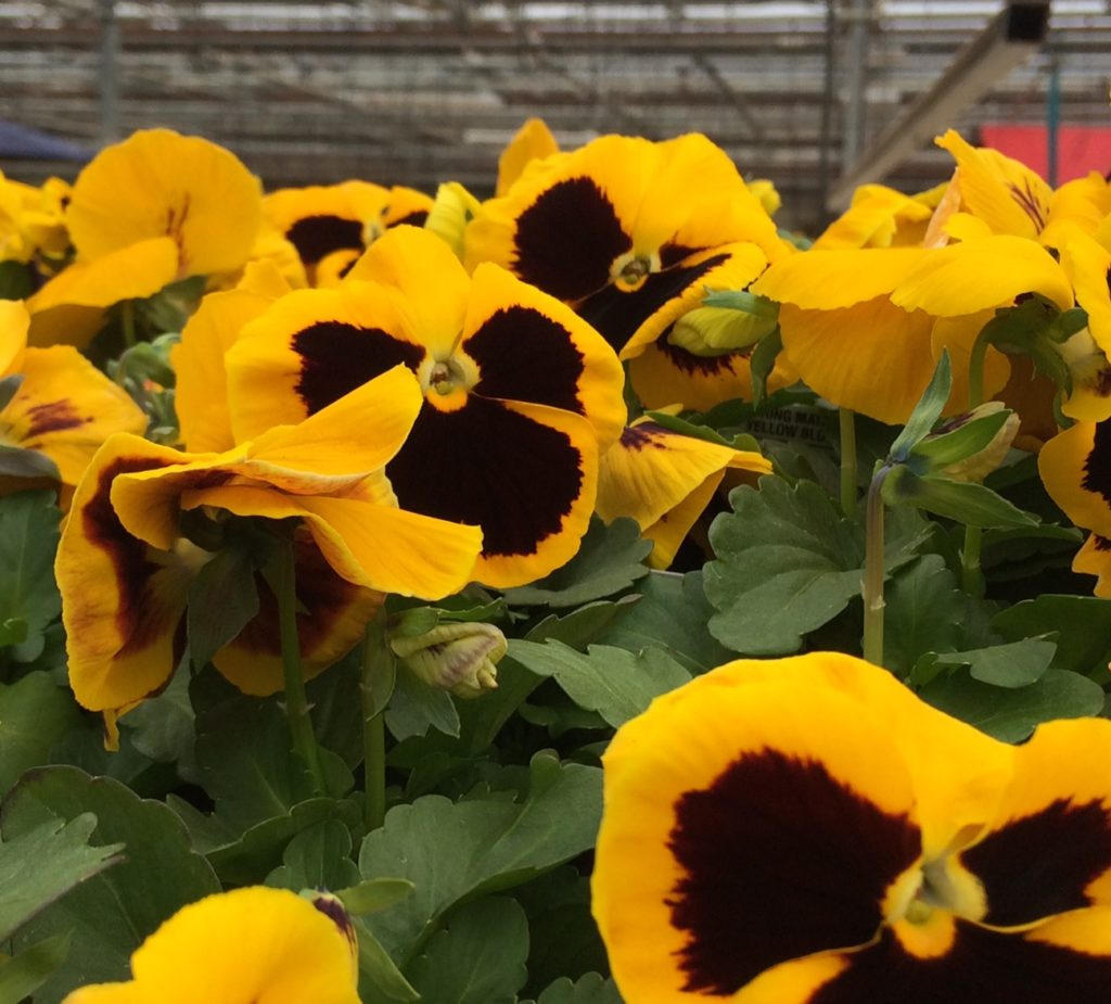 maroon and yellow pansies in greenhouse