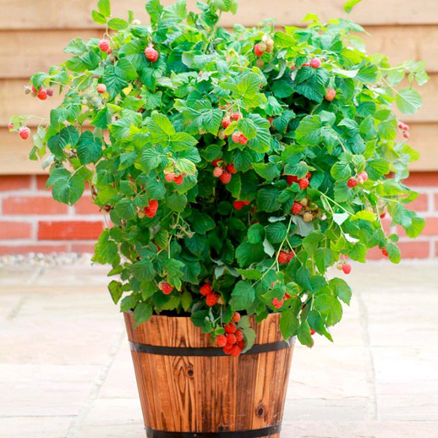 Raspberries-in-pot