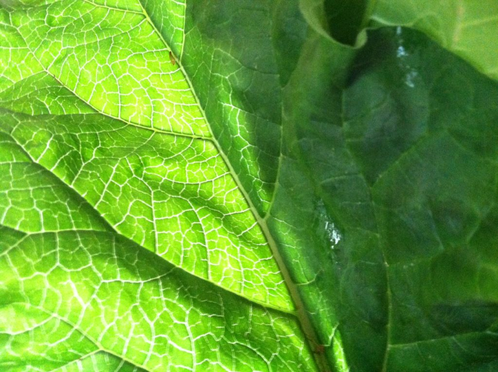 sun shining through rhubarb leaf