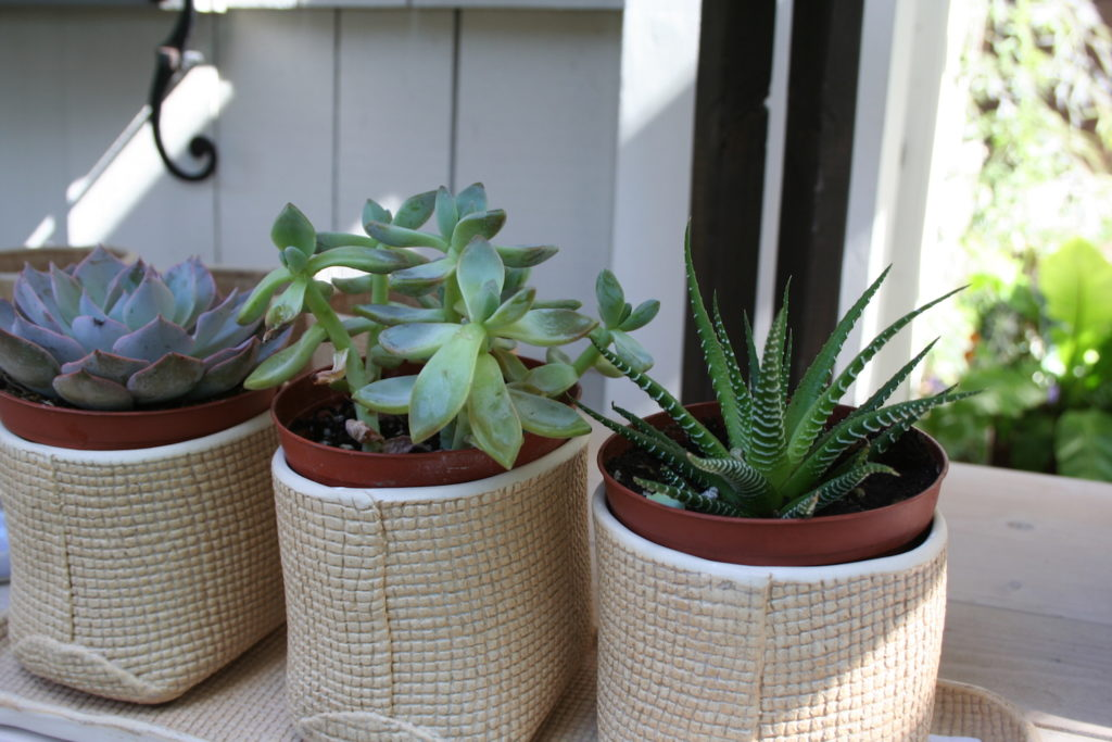 succulents in white containers