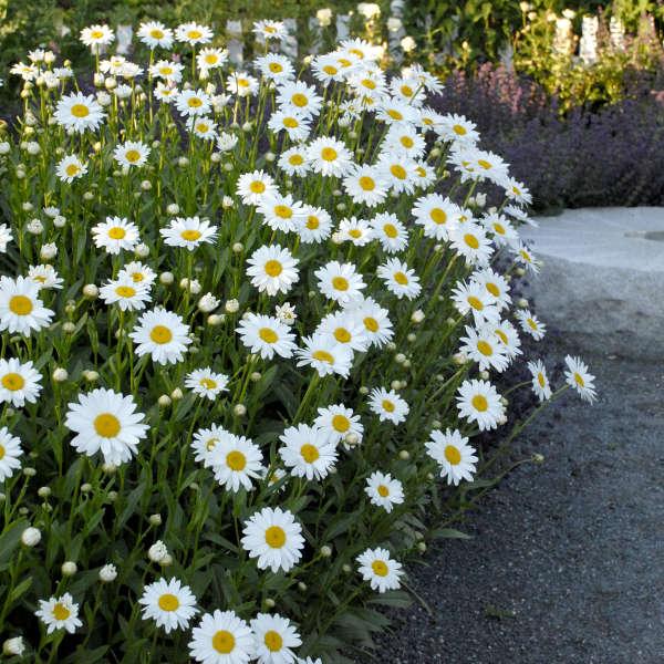 Becky shasta daisy in garden