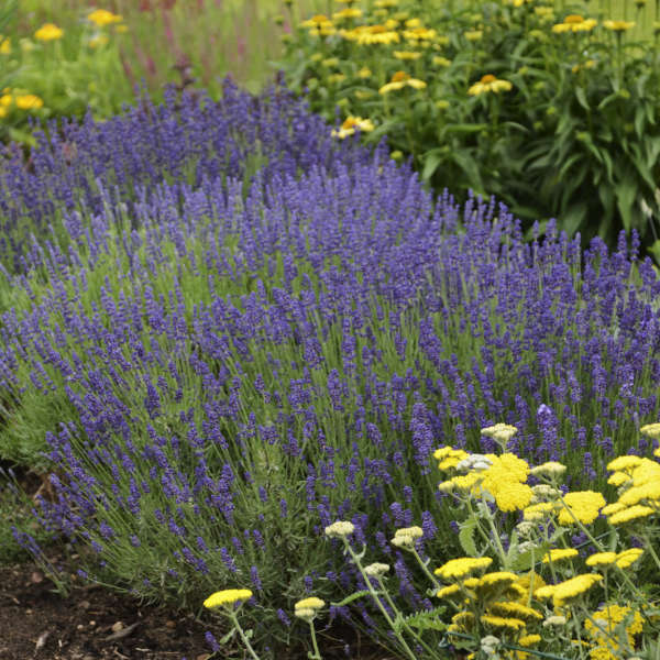Plant Profile Lavender Minnesota State Horticultural Society