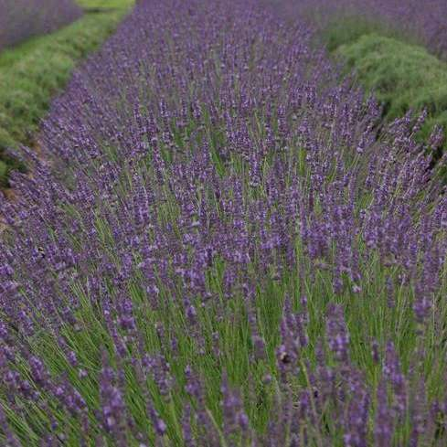 row of phenomenal lavender