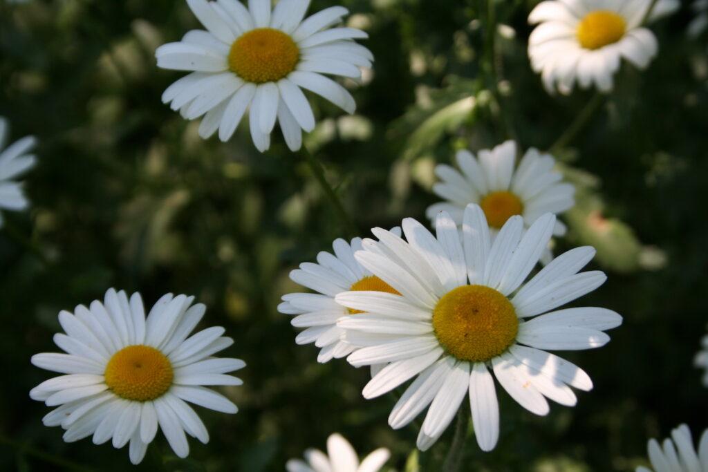 shasta daisy in Minnesota garden