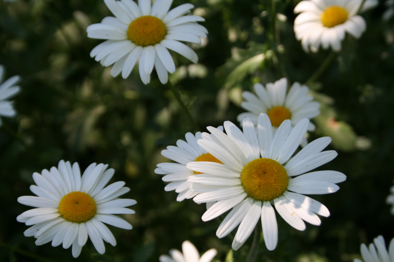 Plant Profile Shasta Daisy Minnesota State Horticultural Society
