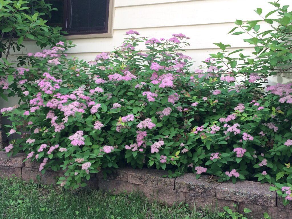 pink blooms on spirea