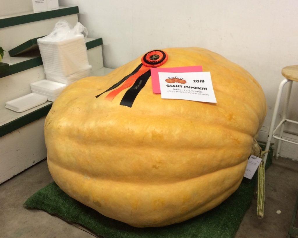giant pumpkin with ribbon