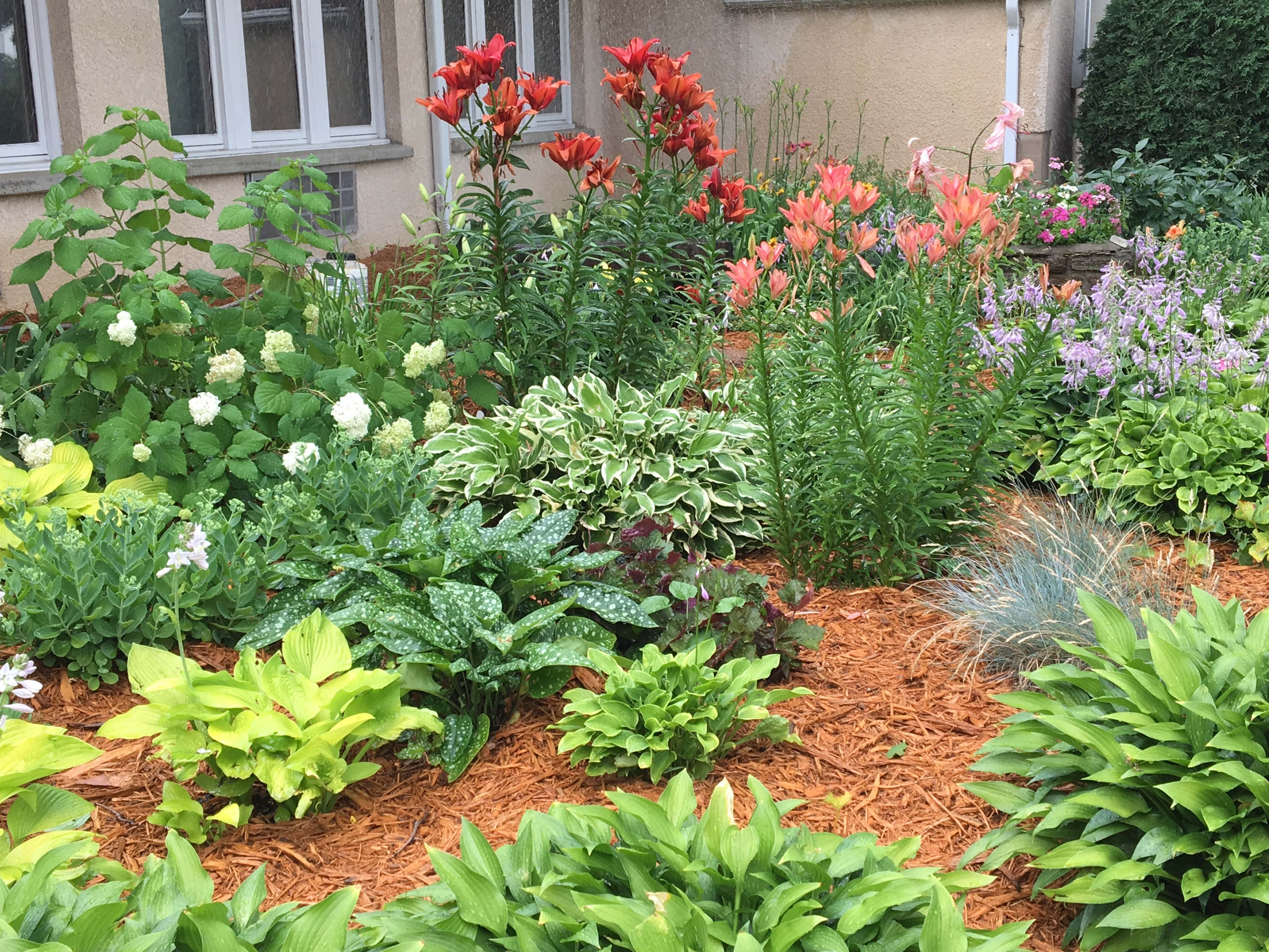 garden with hostas and lilies