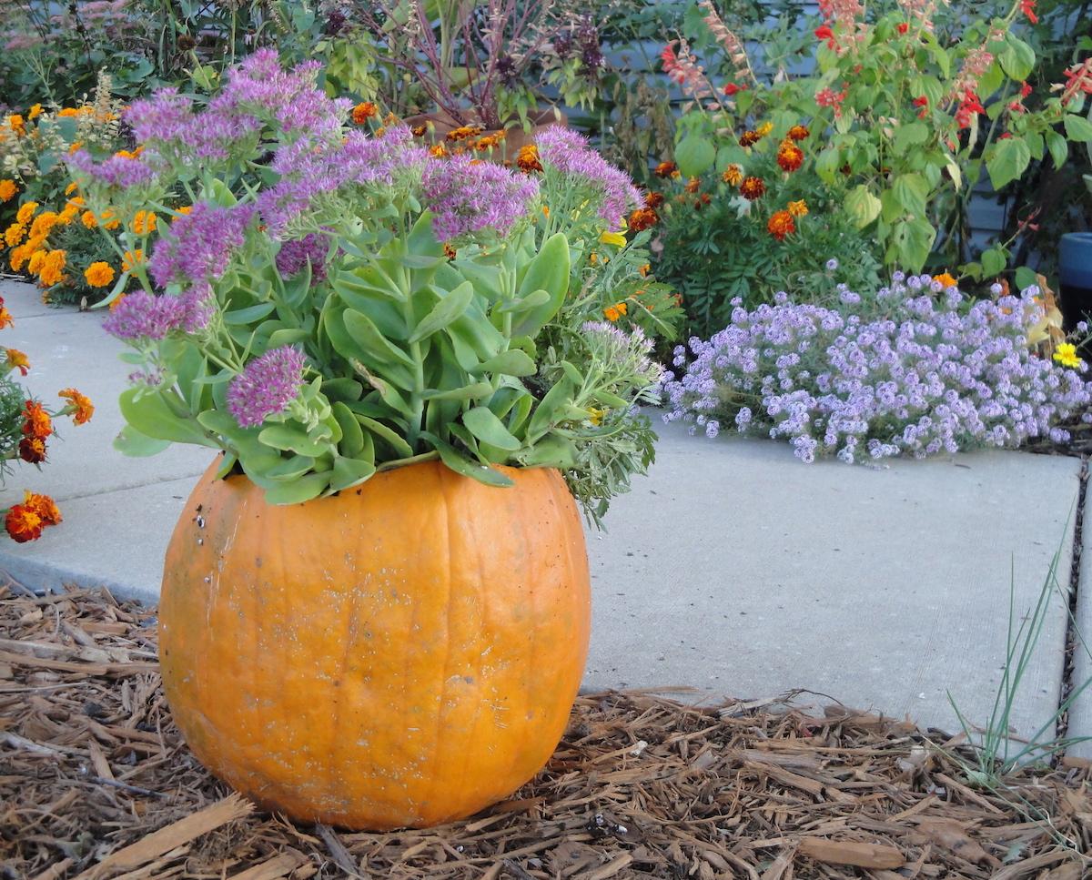 pumpkin with sedum