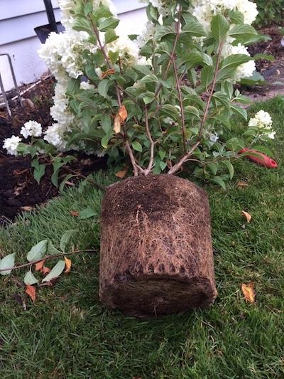 pot bound hydrangea