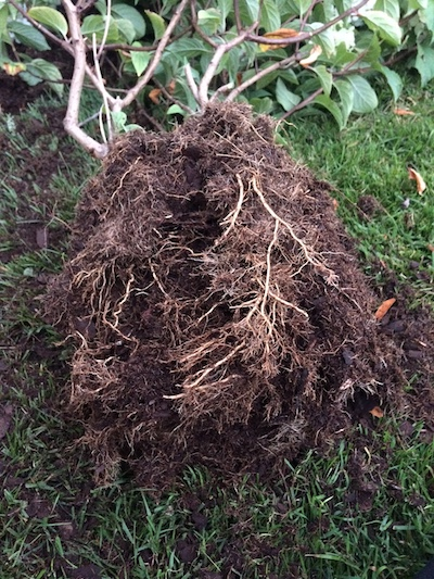 shaggy roots on hydrangea