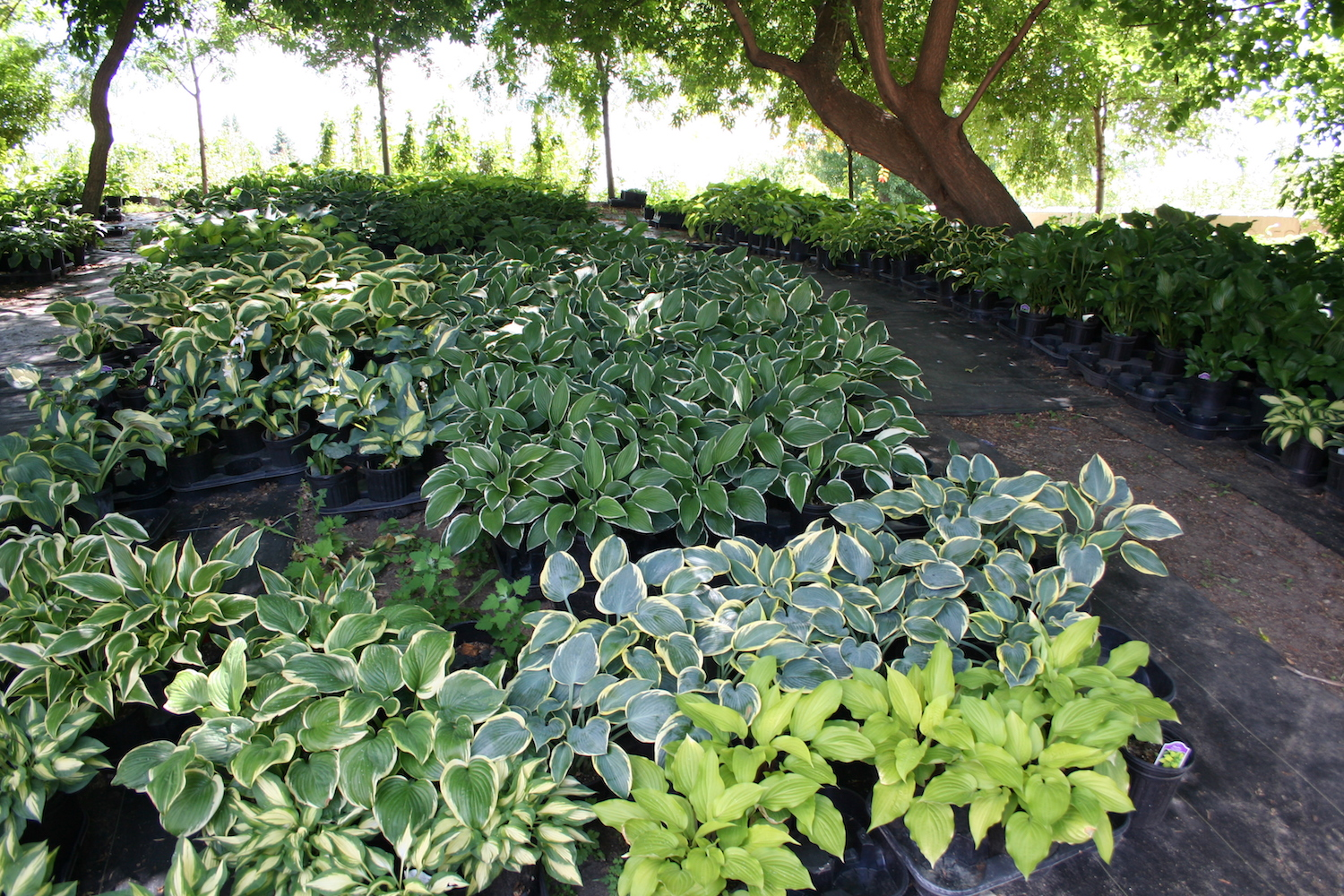 plant shopping for hostas