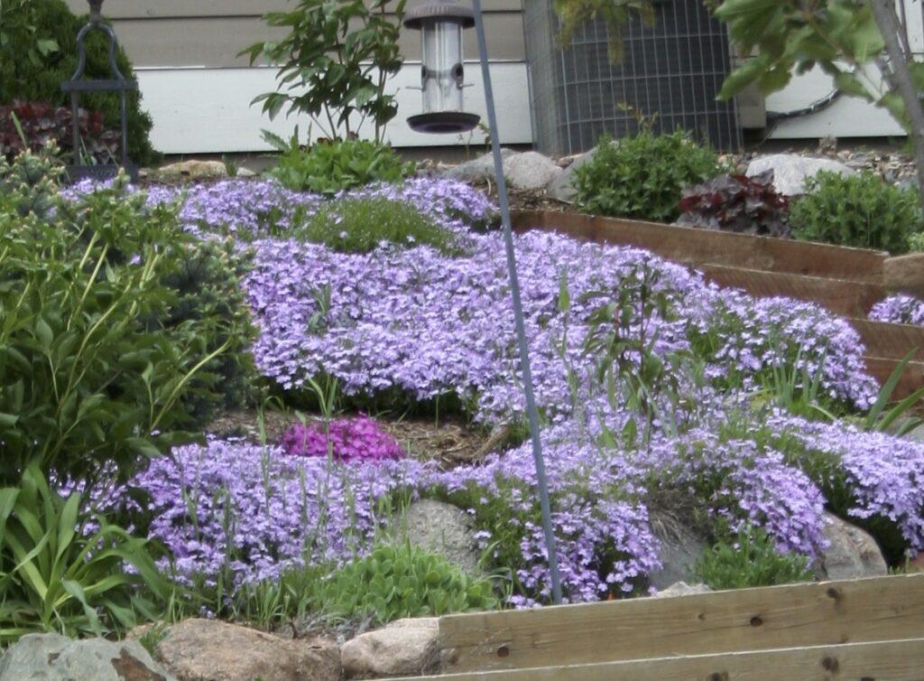 phlox for garden class