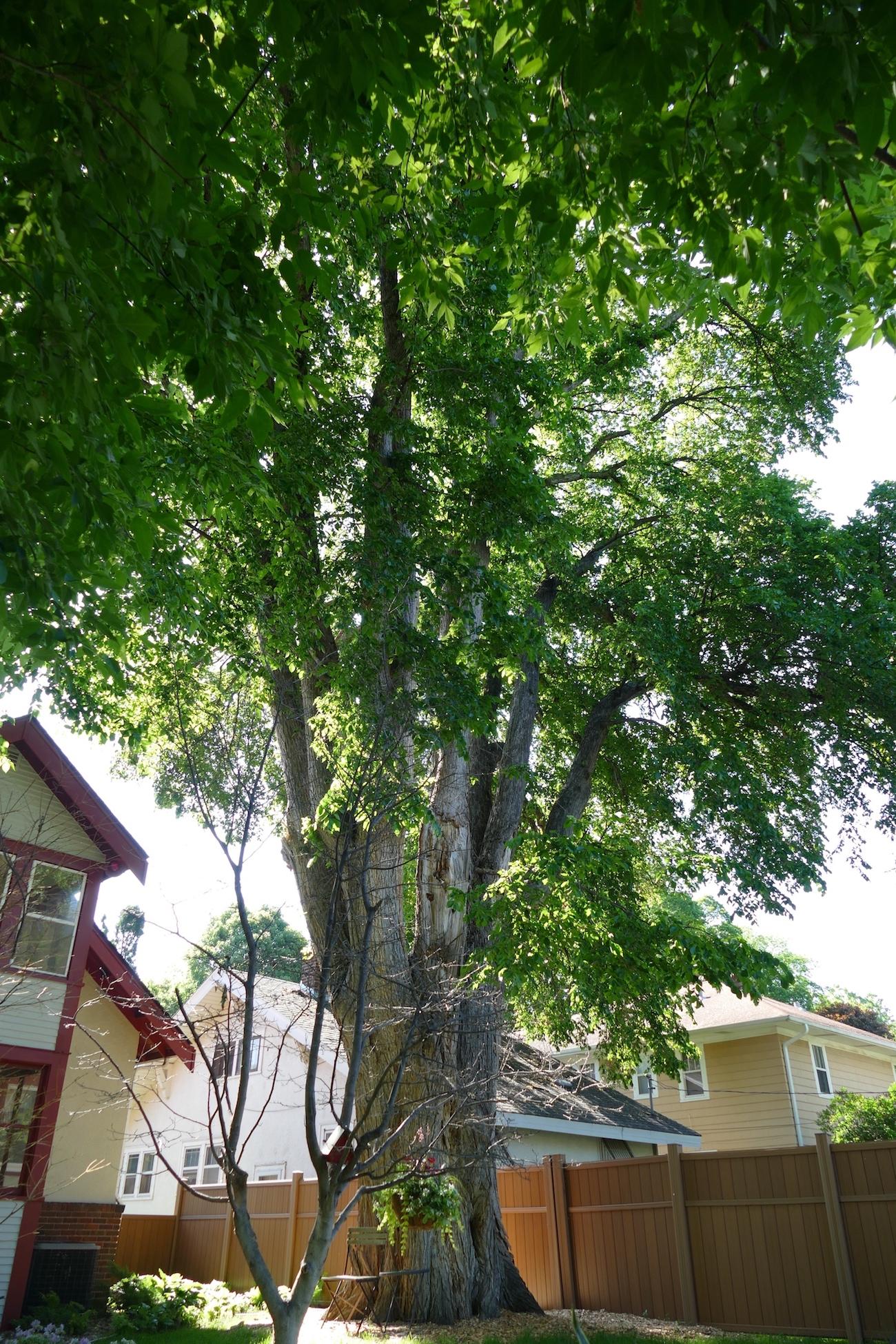 old elm full view