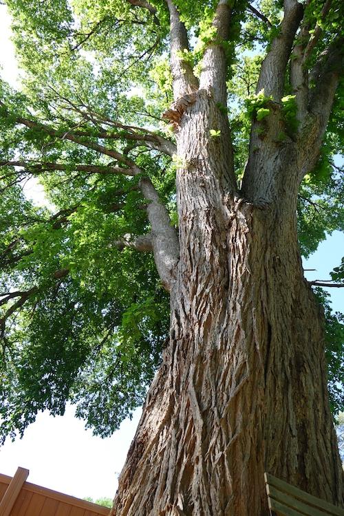 big old elm tree