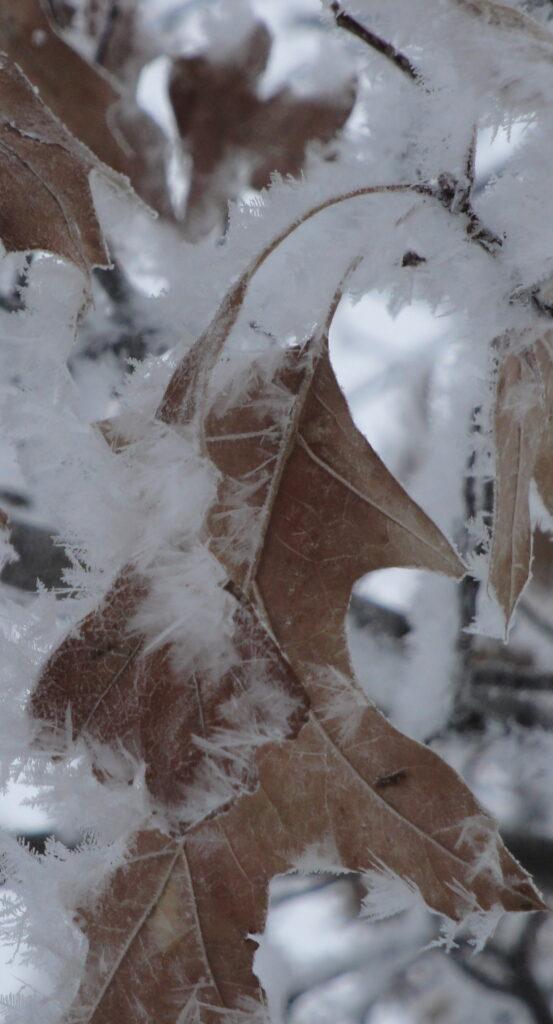 northern pin oak in hoar frost