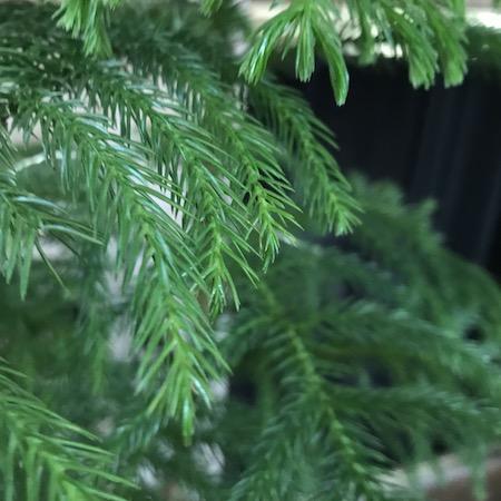 norfolk island pines