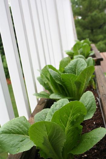 lettuce in first vegetable garden