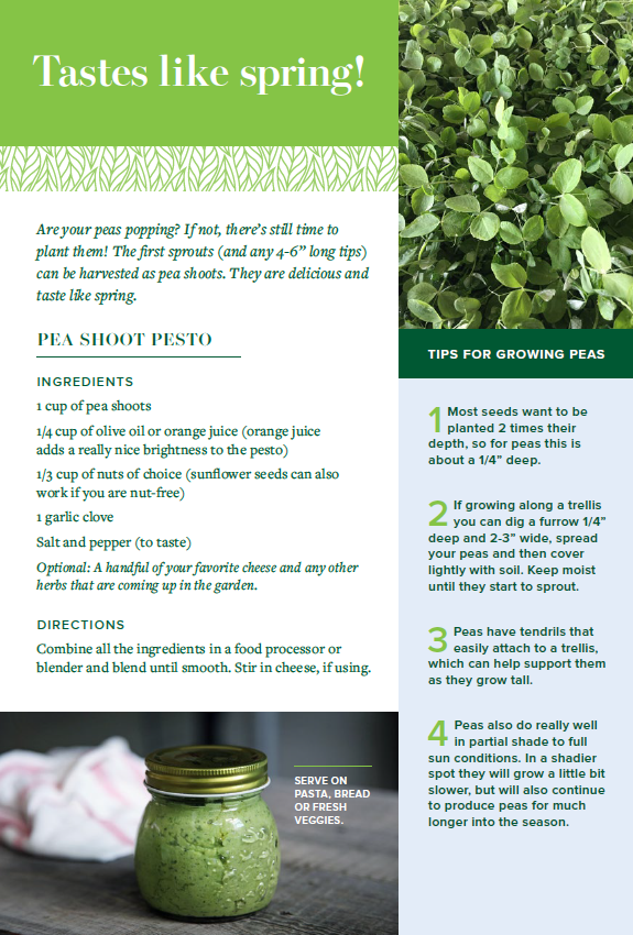 pea shoot pesto