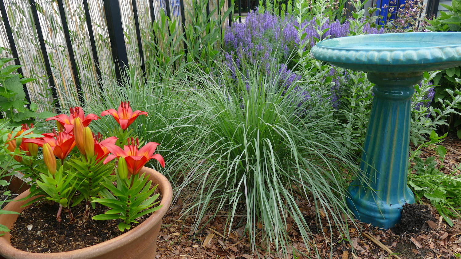little bluestem in garden