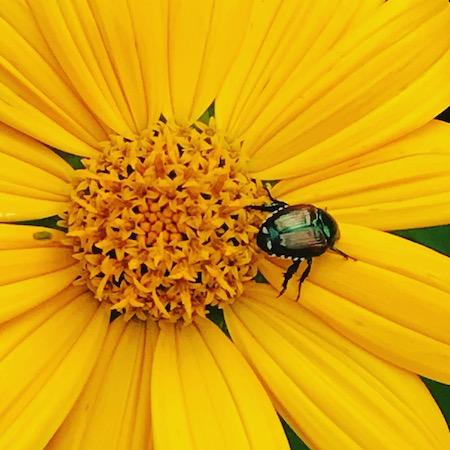 japanese beetle july