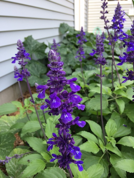 annual salvia playing the blues in home garden