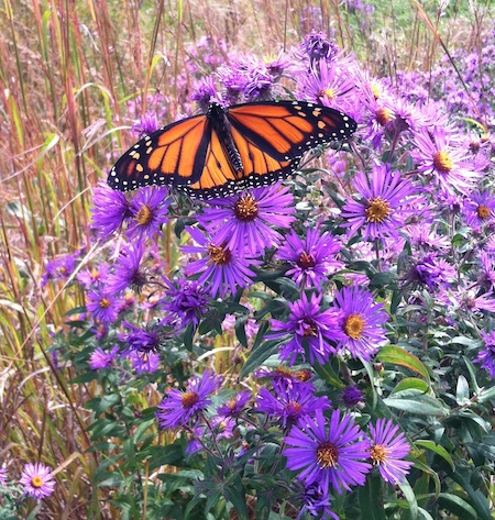aster and monarch