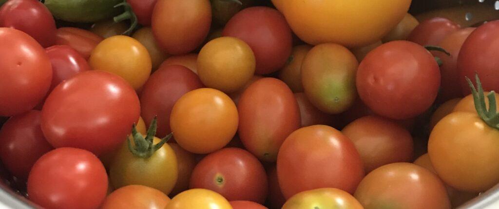 harvest tomatoes