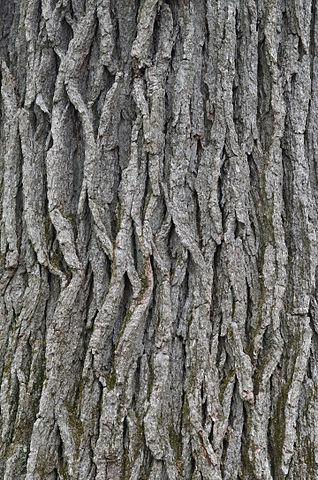 bark of swamp white oak