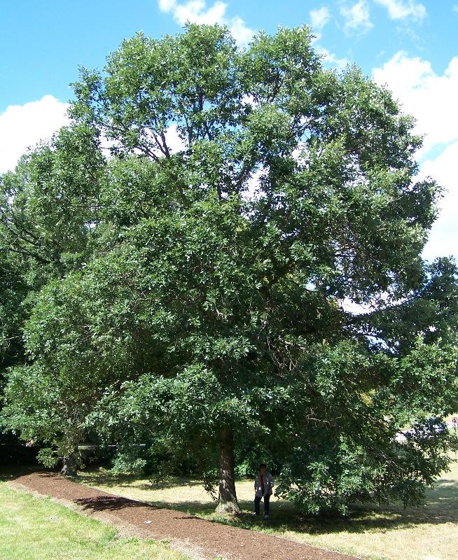 Swamp white oak in landscape