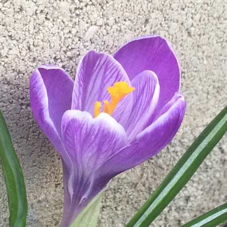 crocus to plant in September